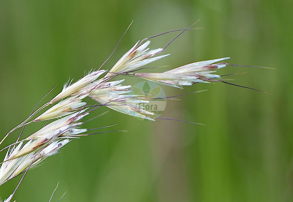 Avenula pubescens (Flaumiger Wiesenhafer - Downy Oat-grass) | Foto von Avenula pubescens (Flaumiger Wiesenhafer - Downy Oat-grass). Das Foto wurde in Hessen, Deutschland, Oberrheinisches Tiefland und Rhein-Main-Ebene, Untermainebene aufgenommen. ---- Photo of Avenula pubescens (Flaumiger Wiesenhafer - Downy Oat-grass).The picture was taken in Hesse, Germany, Oberrheinisches Tiefland and Rhein-Main-Ebene, Untermainebene.