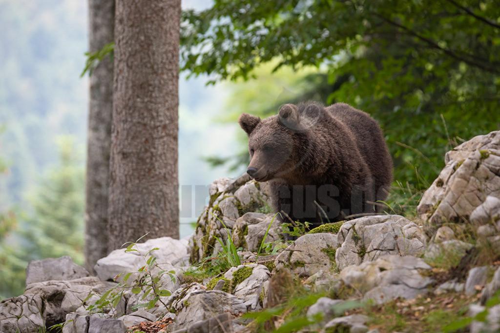 663A1191 | Der Braunbär gehört zu den Säugetieren aus der Familie der Bären. In Eurasien und Nordamerika kommt er in mehreren Unterarten vor, darunter Europäischer Braunbär, Grizzlybär und Kodiakbär. Als eines der größten an Land lebenden Raubtiere der Erde spielt er in zahlreichen Mythen und Sagen eine wichtige Rolle.