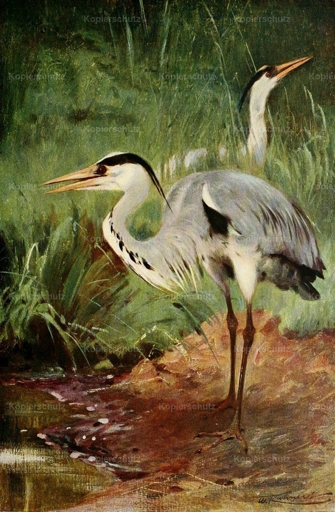 Kuhnert_ F.W. (1865-1926) - Wild Life of the World 1916 - Heron