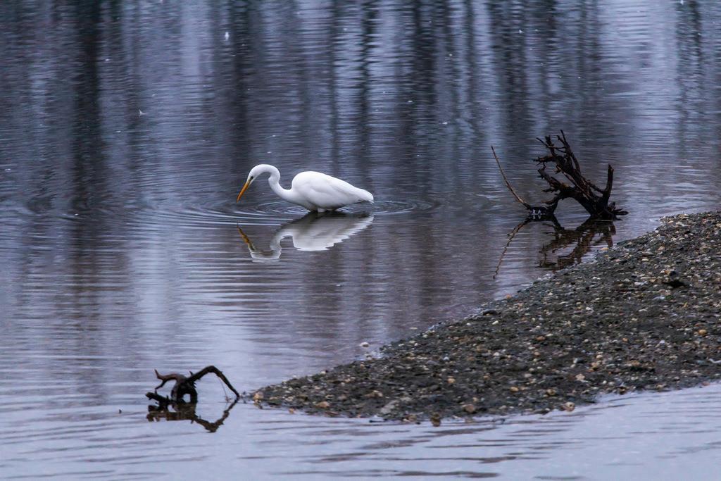 JT-181230-029 | Das Naturschutzgebiet Bislicher Insel, bei Xanten am Niederrhein, Silberreiher, Casmerodius albus,