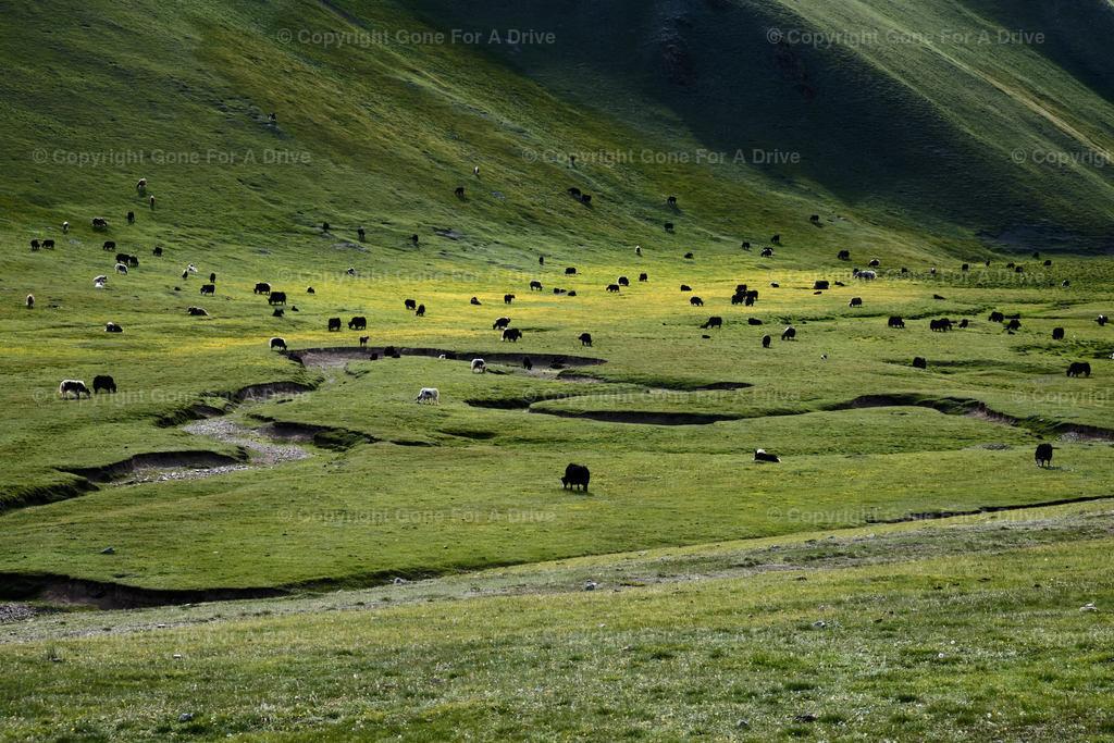 Kirgistan | Yaks auf einer grünen Bergwiese.