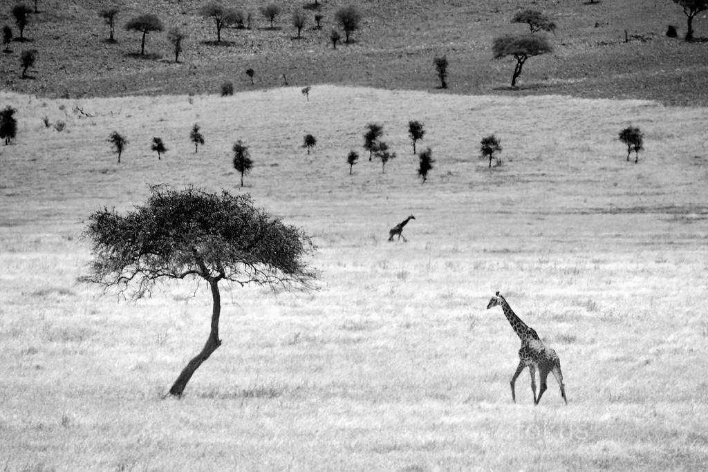 Giraffe | Eine Giraffe sucht in der Mittagshitze die nächste Akazie auf.
