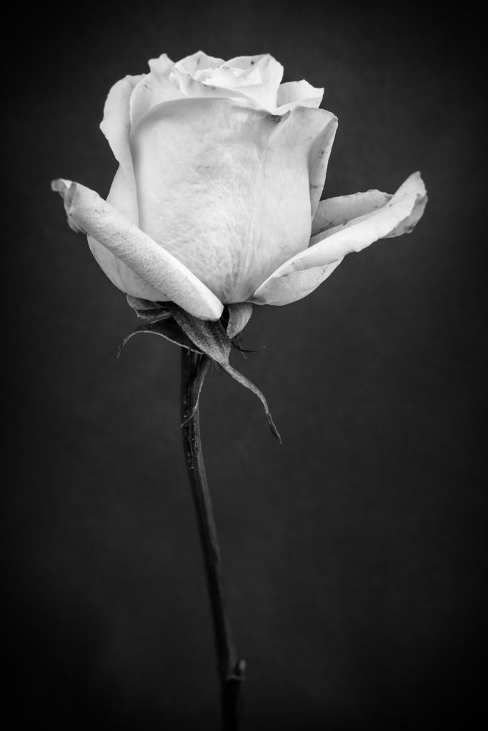 Weiße Rose | Blüte einer weißen Rose.