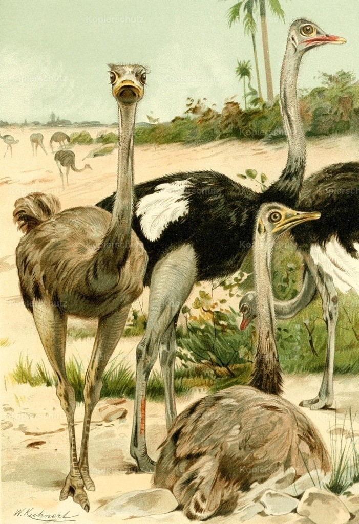 Kuhnert_ F.W. (1865-1926) - Royal Natural History 1893-1896 - Ostriches