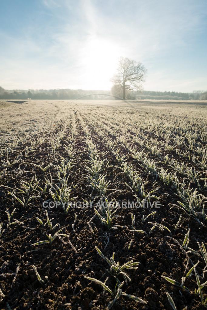 20161204-DSC01319 | junge Getreidepflanzen im Winter - AGRARMOTIVE