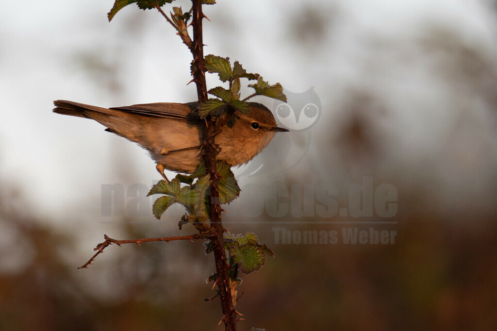 20160415-IMG_3103 | Der Zilpzalp oder Weidenlaubsänger (Phylloscopus collybita) ist eine Vogelart aus der Familie der Laubsängerartigen (Phylloscopidae). Dieser Laubsänger besiedelt große Teile der Paläarktis vom Nordosten Spaniens und Irland nach Osten bis zur Kolyma in Sibirien. Zilpzalpe sind klein, ohne auffallende Zeichnungen und bewegen sich meist gedeckt in höherer Vegetation. Sie fallen daher am ehesten durch den markanten Gesang auf, dem die Art ihren lautmalenden deutschen Namen verdankt.