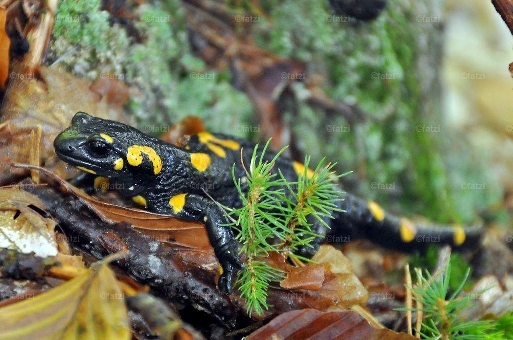 salamander_10-09_004k