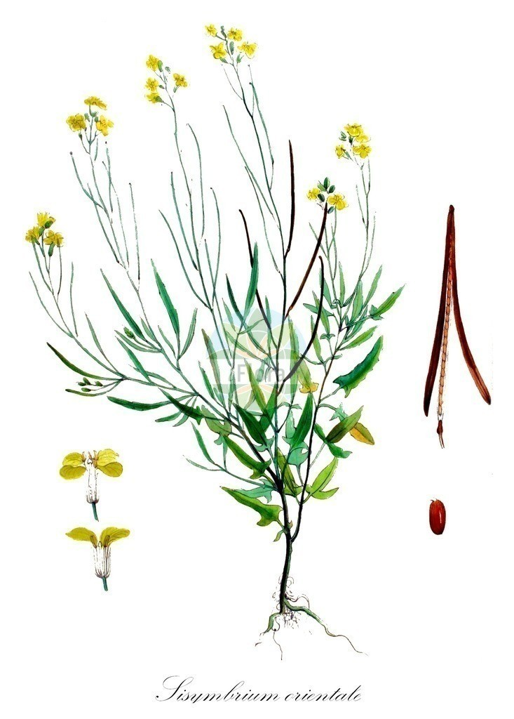 Historical drawing of Sisymbrium orientale (Eastern Rocket) | Historical drawing of Sisymbrium orientale (Eastern Rocket) showing leaf, flower, fruit, seed