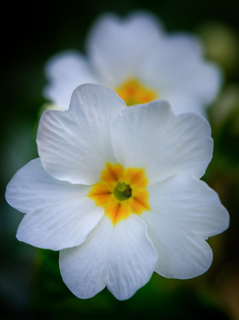 Weiße Primel - Primula | Blüte einer weißen Primel (Primula).