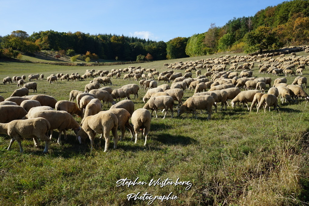 Schafherde bei Potzbach | Eine Schafherde bei Potzbach