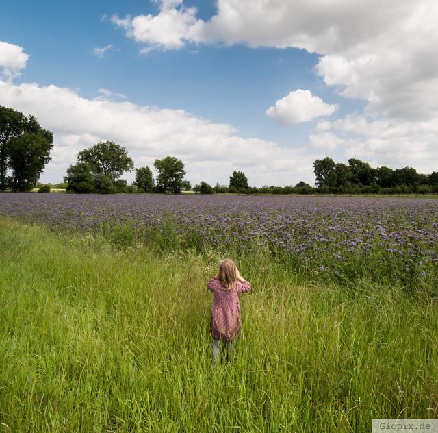 Fotografieren am Senffeld | Senffeld in lila Blühte zwischen Glehn und Kleinenbroich