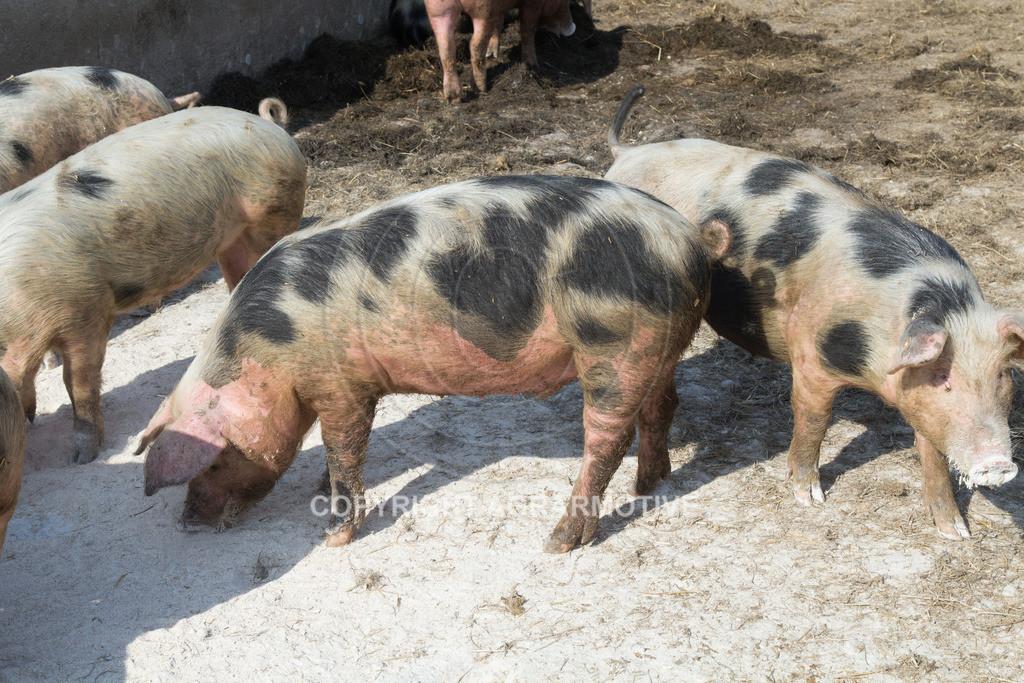 20130425-_MG_6229 | Bioschweine - AGRARMOTIVE Bilder aus der Landwirtschaft