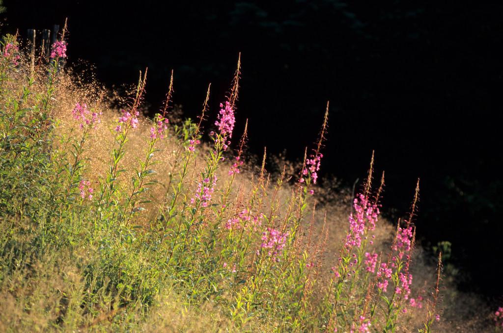 JT-050128-031.jpg | Deutschland: Pflanzen, Schmalbluetiges Weidenroeschen, Epilobium angustifolium.