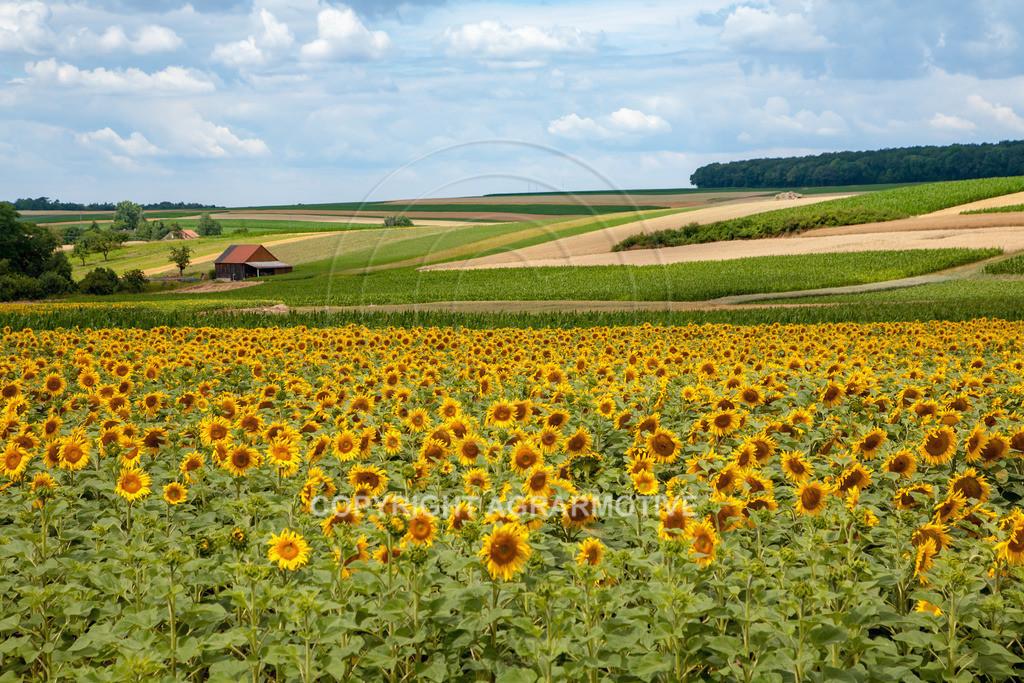 20090711-IMG_3687 | blühende Sonnenblumen im Sommer - AGRARMOTIVE Bilder aus der Landwirtschaft