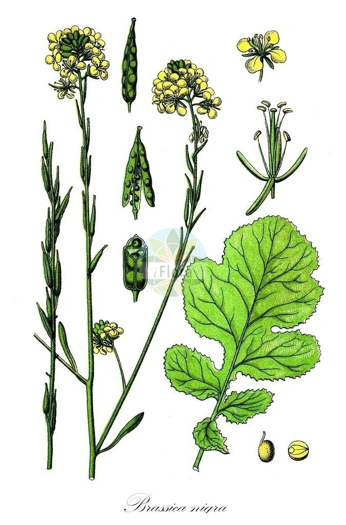 Historical drawing of Brassica nigra (Black Mustard)   Historical drawing of Brassica nigra (Black Mustard) showing leaf, flower, fruit, seed