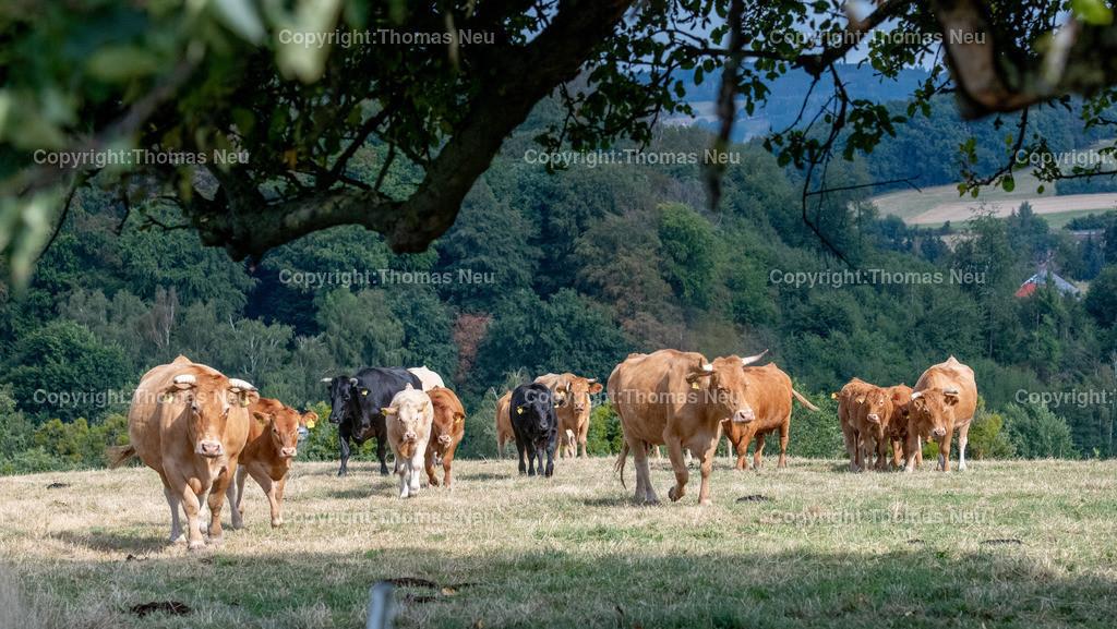 DSC_3799 | Lautertal, bli,Gadernheim, glückliche Kühe die nicht im Stall sondern im Freien mit ihren Kälbern grasen dürfen, dem Fotografen aber waren die Kühe skeptisch eingestellt und der Blick zeigt dass man lieber die Distanz wahren sollte, was in Corona Zeiten ja  schon in Fleisch und blut übergegangen ist, ,, Bild: Thomas Neu