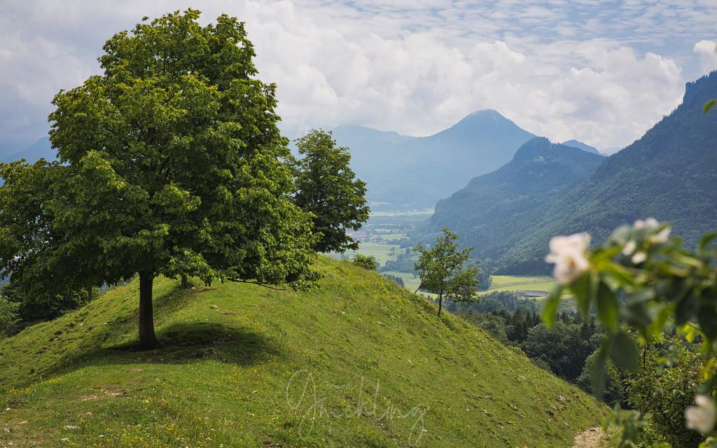 Drei Linden | Drei Linden und der Petersberg im Sommer. Blühende Kletterrose im Vordergrund