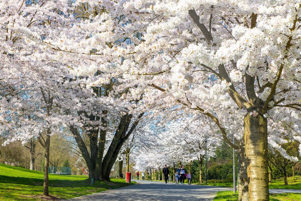 JT-190329-008 | Grugapark Essen, Frühling, blühende Bäume, Alle mit Japanische Maienkirschen, Prunus x yedoensis