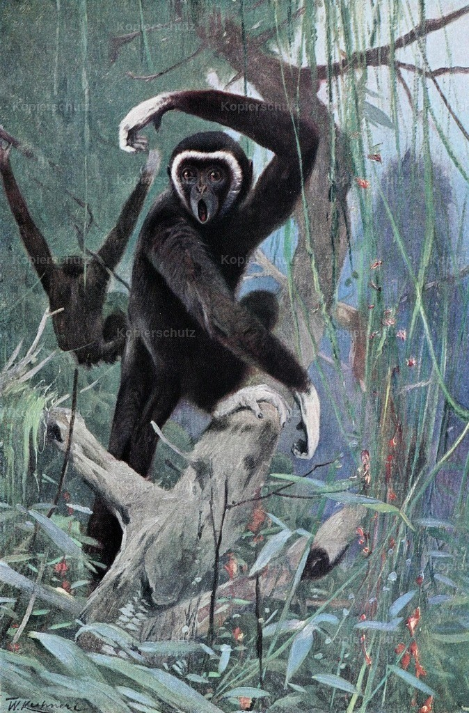 Kuhnert_ F.W. (1865-1926) - Wild Life of the World 1916 - White-handed Gibbon