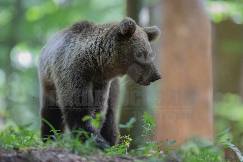 663A0768 | Der Braunbär gehört zu den Säugetieren aus der Familie der Bären. In Eurasien und Nordamerika kommt er in mehreren Unterarten vor, darunter Europäischer Braunbär, Grizzlybär und Kodiakbär. Als eines der größten an Land lebenden Raubtiere der Erde spielt er in zahlreichen Mythen und Sagen eine wichtige Rolle.