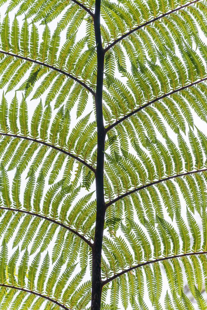 Best. Nr. BäumeGrün08 | Blatt eines neuseeländischen Baumfarns