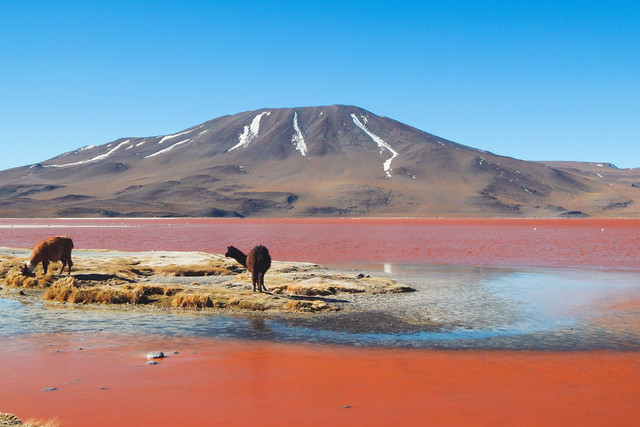 WonderWorld | Alpakas an der Laguna Colorada in Bolivien