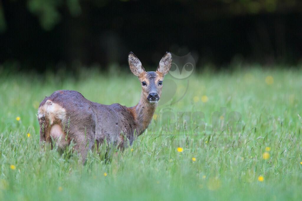 20140504_202113-2    Das Reh, zur Unterscheidung vom Sibirischen Reh auch Europäisches Reh genannt, ist die in Europa häufigste und kleinste Art der Hirsche. Als Trughirsch ist es näher mit Ren, Elch und dem amerikanischen Weißwedelhirsch verwandt als mit dem in Mitteleuropa ebenfalls heimischen Rothirsch.