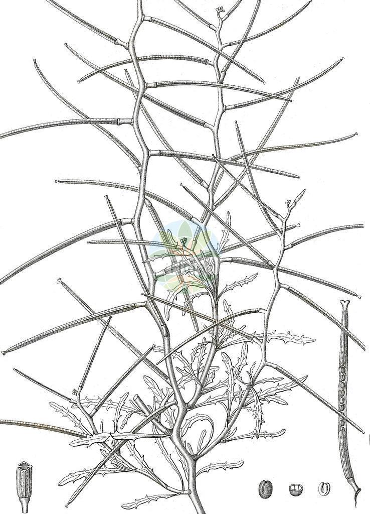 Erysimum repandum (Sparriger Schoeterich - Spreading Treacle-mustard) | Historische Abbildung von Erysimum repandum (Sparriger Schoeterich - Spreading Treacle-mustard). Das Bild zeigt Blatt, Bluete, Frucht und Same. ---- Historical Drawing of Erysimum repandum (Sparriger Schoeterich - Spreading Treacle-mustard).The image is showing leaf, flower, fruit and seed.
