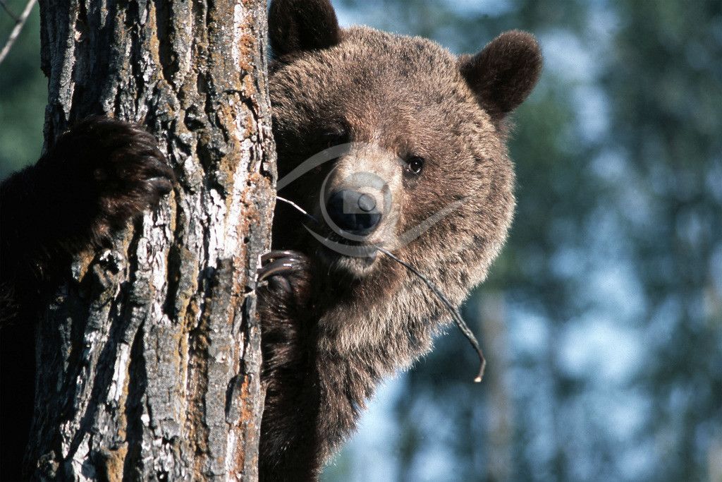 Grizzly_mit Halm