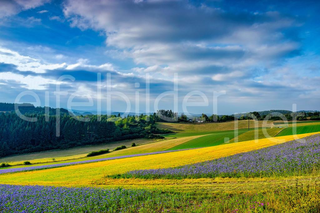 Eifellandschaft bei Daun   bunte Felder in der Vulkaneifel