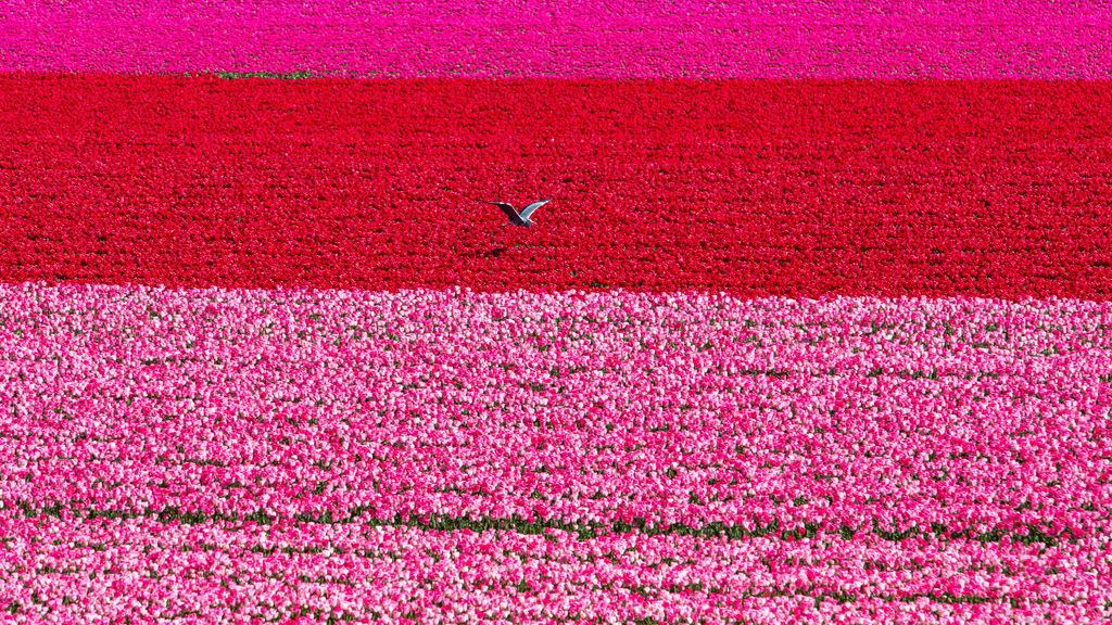 JT-160803-015 | Tulpenfelder, Tulpenzucht, viele bunte Tulpen, Vogel,
