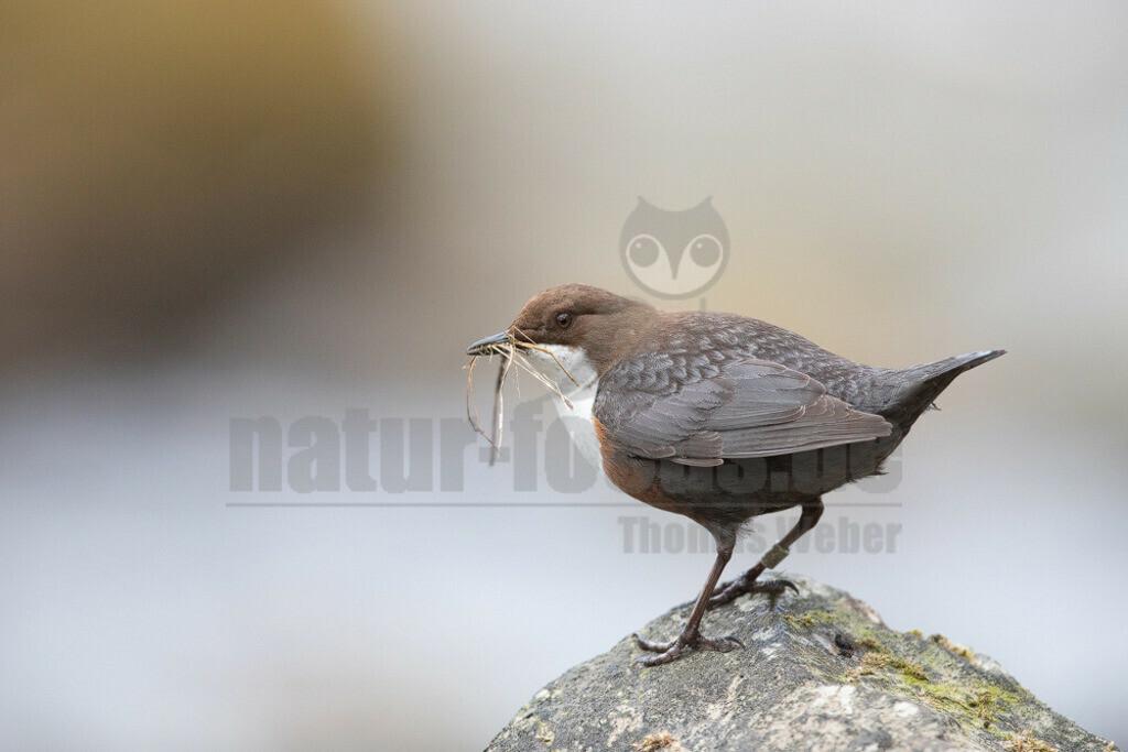 20200612-663A0003 (8) | Die Wasseramsel oder Eurasische Wasseramsel ist die einzige auch in Mitteleuropa vorkommende Vertreterin der Familie der Wasseramseln. Der etwa starengroße, rundlich wirkende Singvogel ist eng an das Leben entlang schnellfließender, klarer Gewässer gebunden.