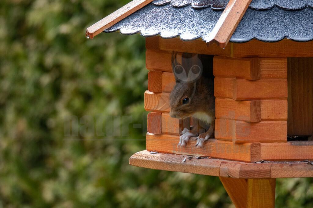 20160424-IMG_3269 Kopie | Das Eichhörnchen (Sciurus vulgaris), regional auch Eichkätzchen, Eichkatz(er)l, Eichkater oder niederdeutsch Katteker, ist ein Nagetier aus der Familie der Hörnchen (Sciuridae). Es ist der einzige natürlich in Mitteleuropa vorkommende Vertreter aus der Gattung der Eichhörnchen und wird zur Unterscheidung von anderen Arten wie dem Kaukasischen Eichhörnchen und dem in Europa eingebürgerten Grauhörnchen auch als Europäisches Eichhörnchen bezeichnet.