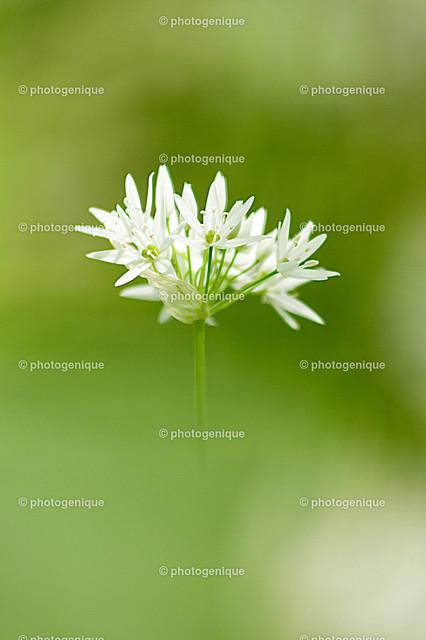 Bärlauch-Blüte | eine einzelne Blüte einer Bärlauchpflanze bei Tageslicht vor einem grünen Hintergrund, aufgenommen in Leipzig