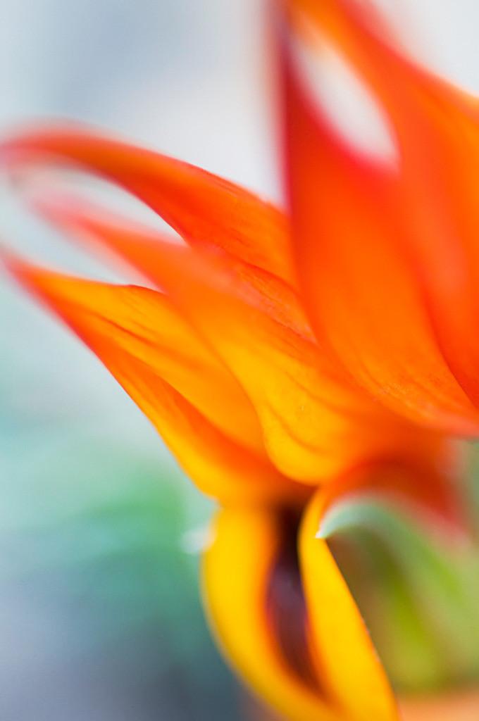 Best. Nr. Blütenpracht07 | Kanarischer Hornklee