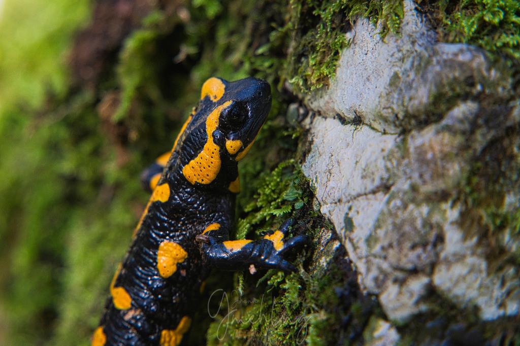Salamander am Berg | Salamander am Felsen im Wald