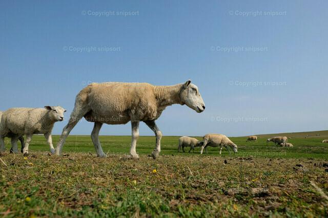 Schafe auf der Weide | Gemächlich vorbeigehende Schafe auf einer norddeutschen Weide.