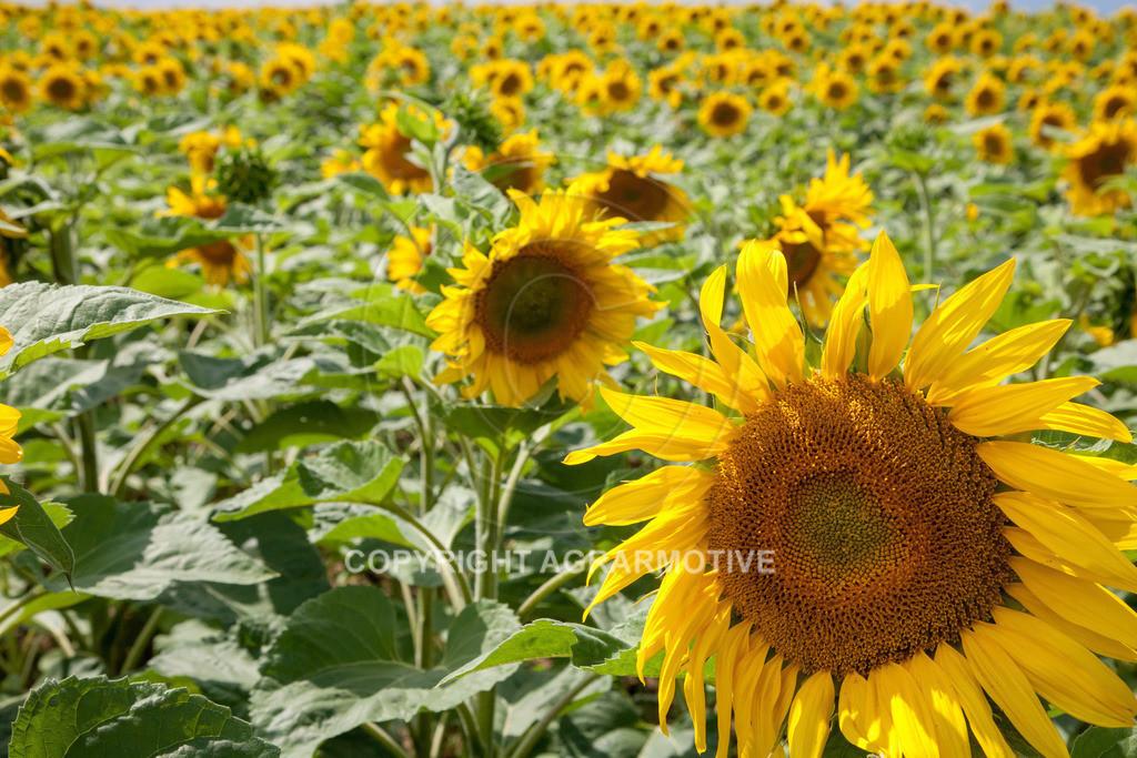 20090711-IMG_3782 | blühende Sonnenblumen im Sommer - AGRARMOTIVE Bilder aus der Landwirtschaft