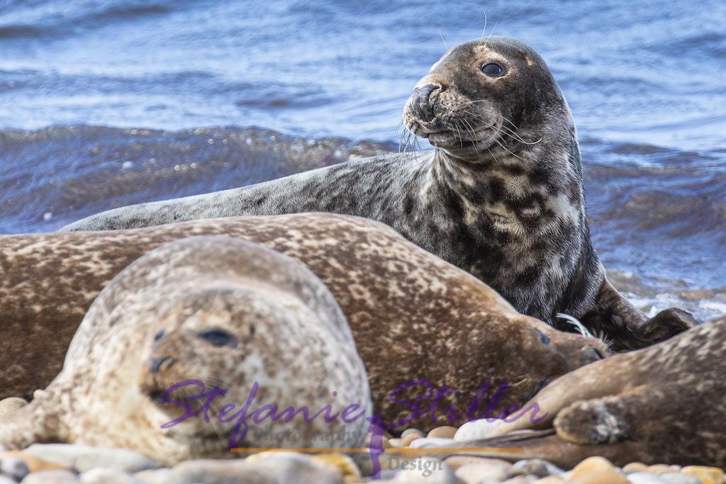 Aufmerksamer Seehund