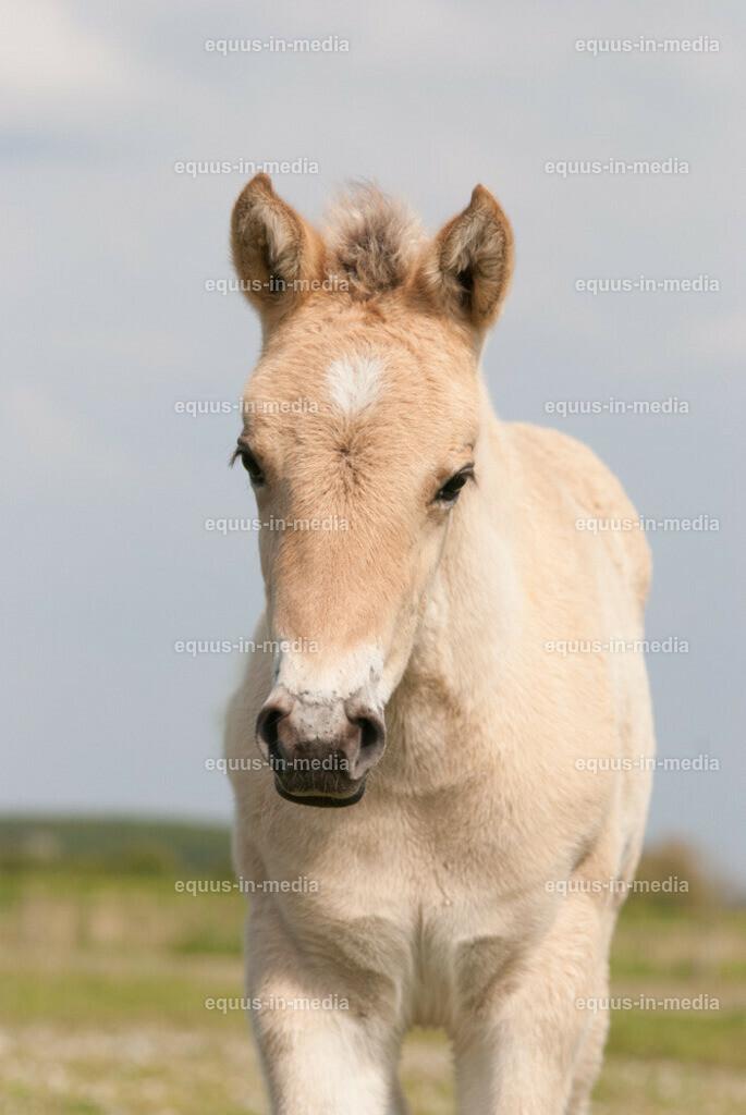 20100514-DSC_2749 | Halbporträt Henson Pferd Fohlen