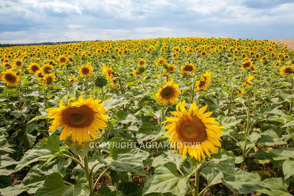 20090711-IMG_3779 | blühende Sonnenblumen im Sommer - AGRARMOTIVE Bilder aus der Landwirtschaft