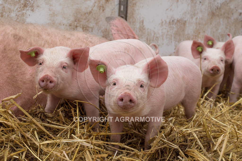 20160705-IMG_7948 | glückliche Schweine