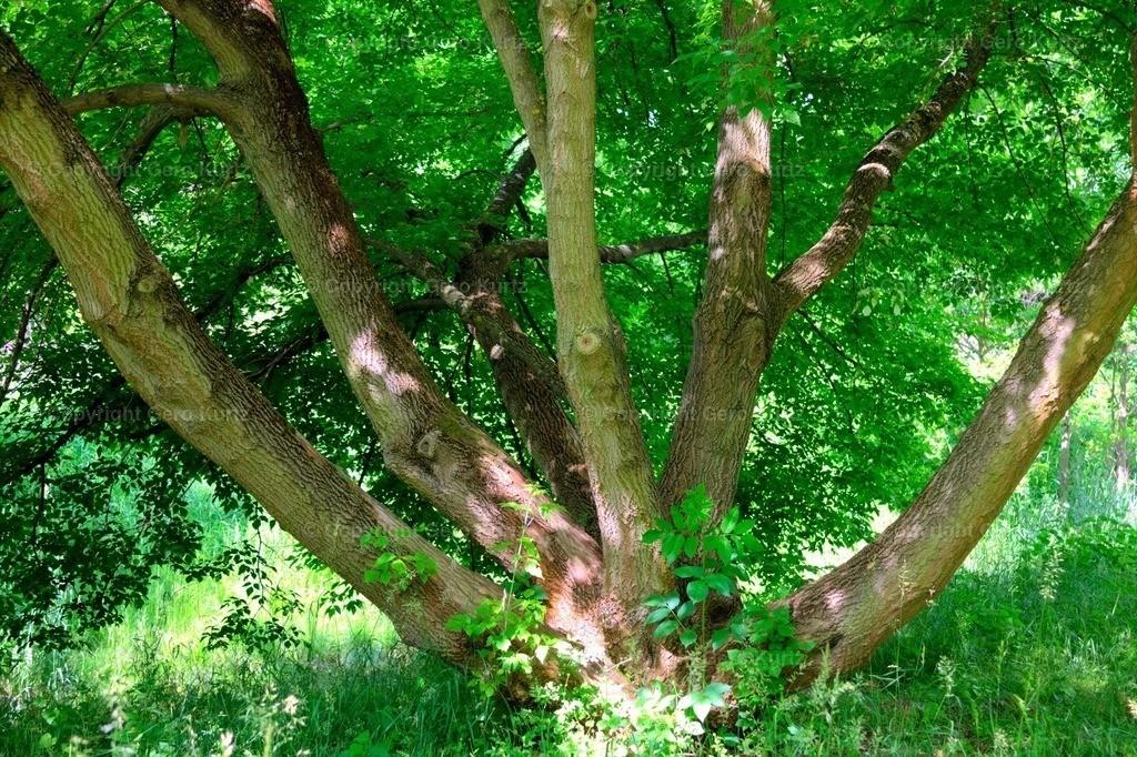 Trees with multiple trunks - Baum mit mehreren Stämmen