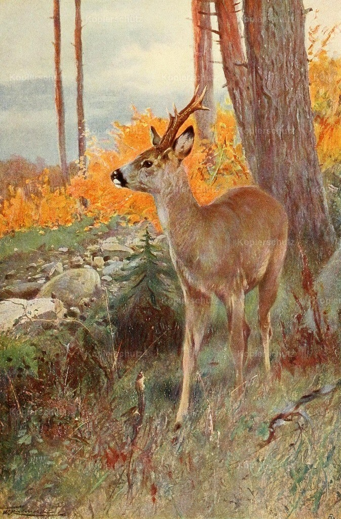 Kuhnert_ F.W. (1865-1926) - Wild Life of the World 1916 - Roe Deer