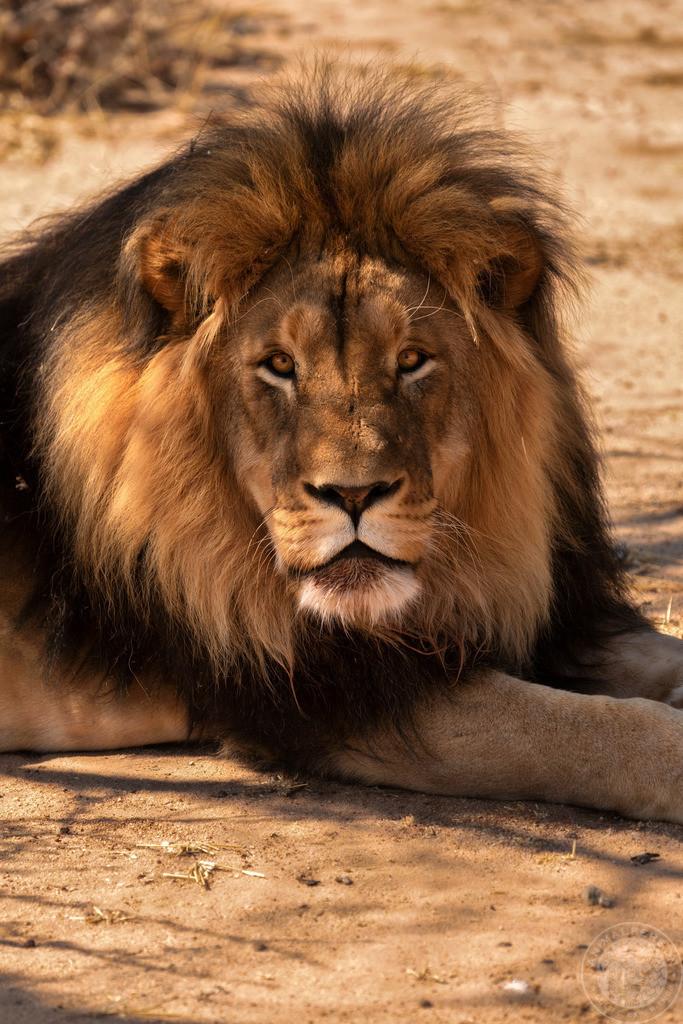 Löwen-Rudelchef