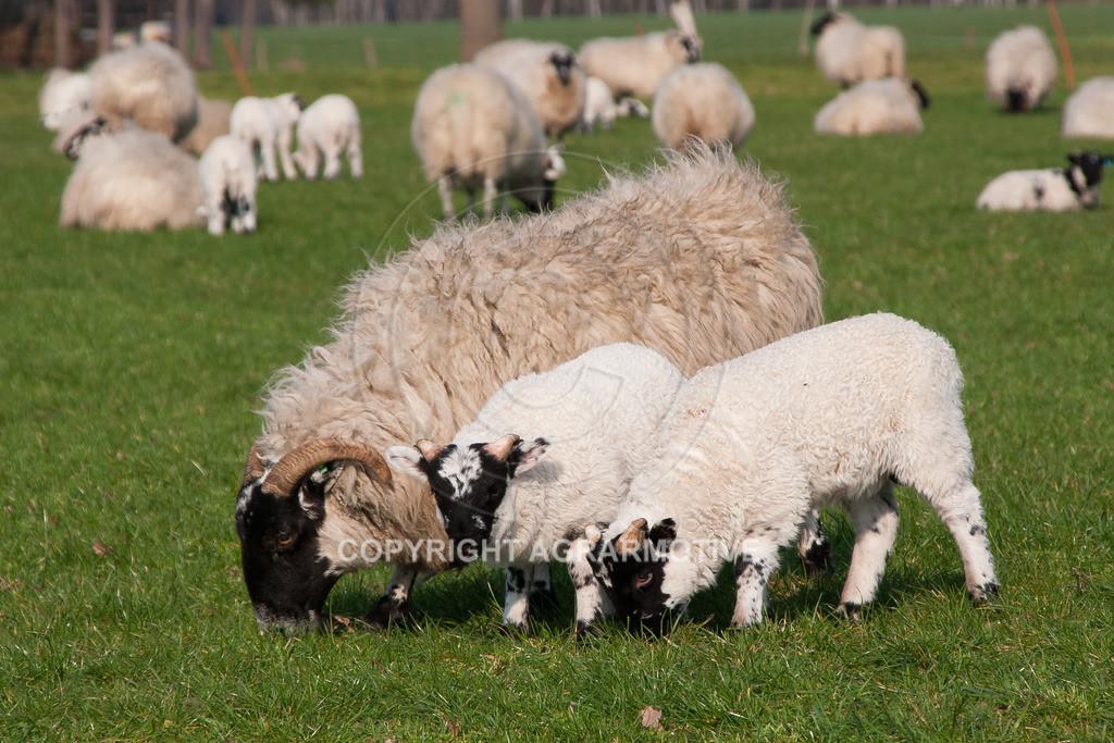 250307-165808 | Schafherde auf der Weide - AGRARBILDER