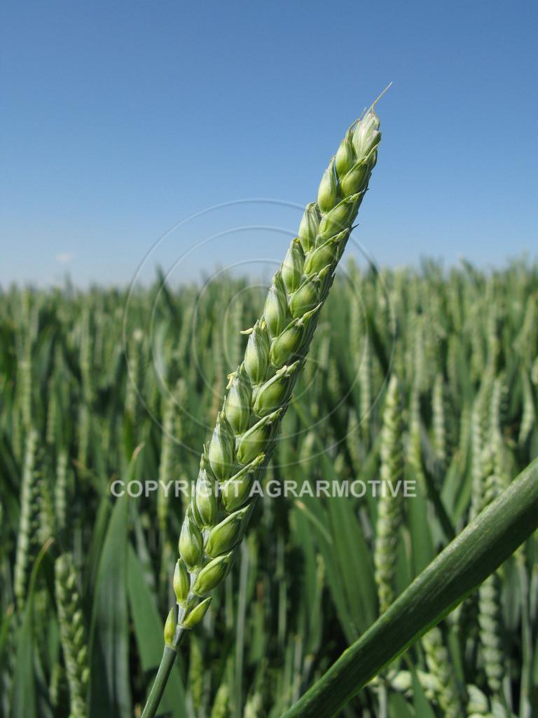 20090530-IMG_4115 | Weizenähren vor der Abreife - AGRARBILDER Bilder aus der Landwirtschaft