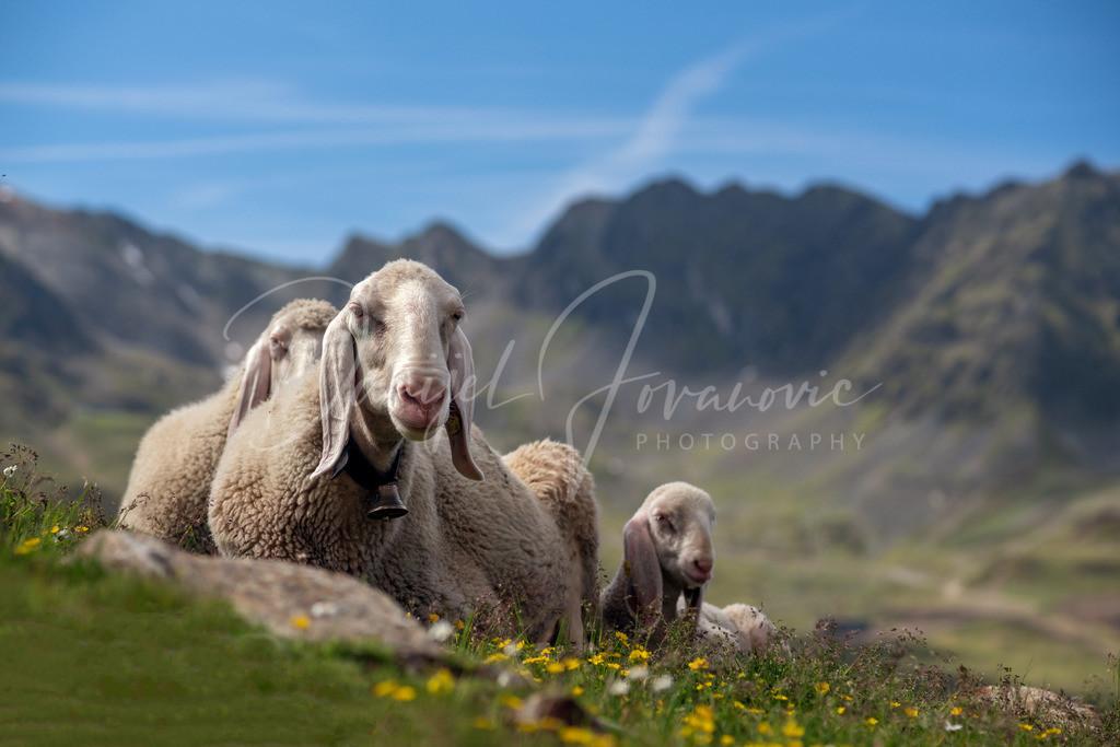 Schafe | Schafe im Kühtai