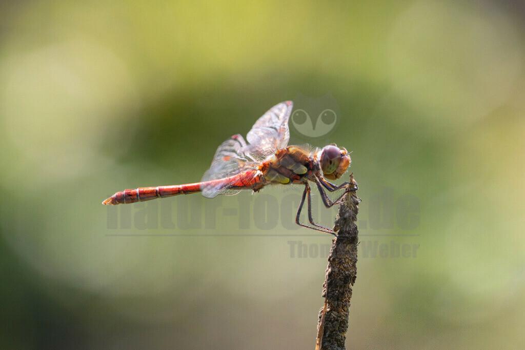 20200816124940 | Die Blutrote Heidelibelle ist eine Libellenart aus der Familie der Segellibellen. Diese gehören zu den Großlibellen. Es handelt sich dabei um eine mittelgroße Libelle mit einer Flügelspannweite von maximal sechs Zentimetern.