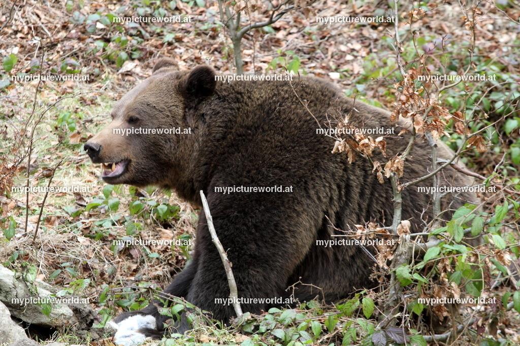 Braunbär-047